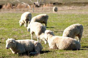 天然のクーラーと呼ばれる羊毛の不思議